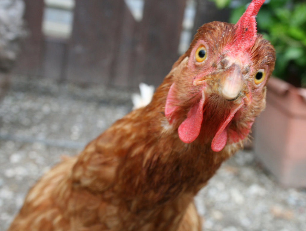FROM JUNE 2018 NEWSLETTER, 'I AM NOT A SUPERCHICKEN'